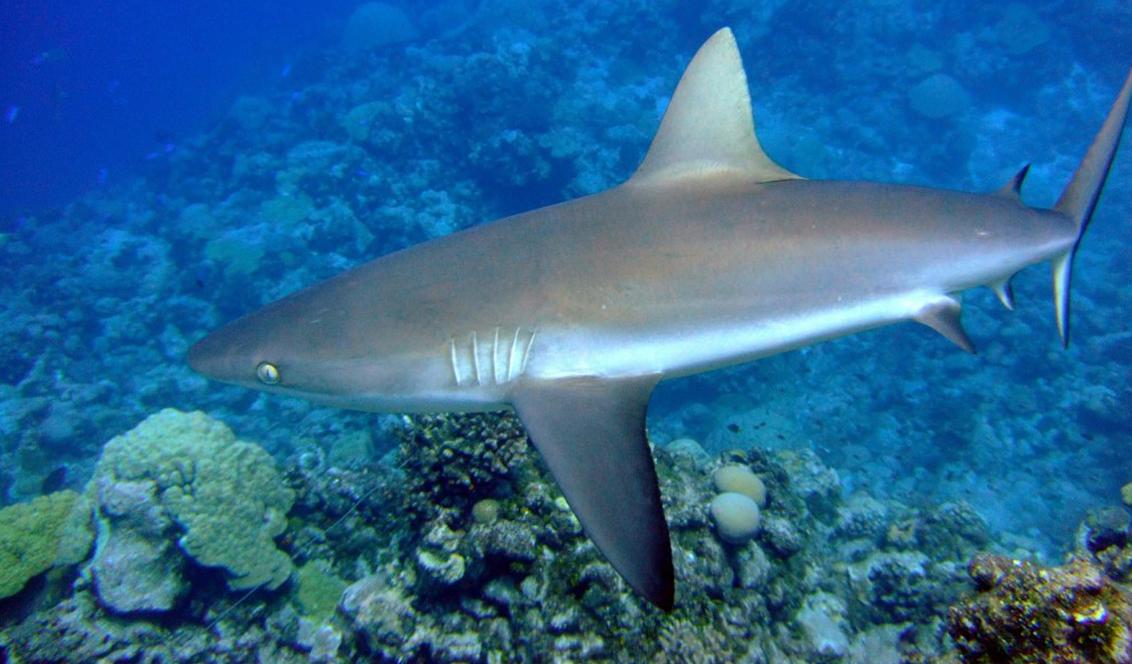 Carcharhinus_amblyrhynchos_wake